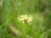 Burmannia capitata (Burmanniaceae) – French Guiana. Photo by Vincent Merckx