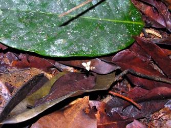 Hexapterella gentianoides (Burmanniaceae) – Guyana. Photo by Vincent Merckx