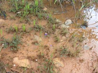 Burmannia bicolor (Burmanniaceae), Guyana, V. Merckx