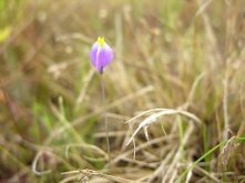 Burmannia bicolor (Burmanniaceae) – Guyana. Photo by Vincent Merckx