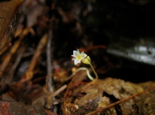 Gymnosiphon aff. bekensis (Burmanniaceae) – Cameroon. Photo by Vincent Merckx