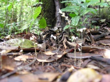Gymnosiphon aff. divaricatus (Burmanniaceae) – French Guiana. Photo by Vincent Merckx