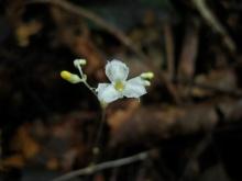 Gymnosiphon longistylus (Burmanniaceae). Douala-Edea, Cameroon. Photo by Vincent Merckx