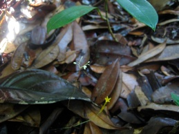 Dictyostega orobanchoides (Burmanniaceae) and Voyria aphylla (Gentianaceae) – Savane Roche Virginie, French Guiana. Photo by Vincent Merckx