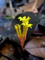 Voyria aurantiaca (Gentianaceae) – French Guiana. Photo by Vincent Merckx