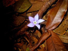 Voyria caerulea (Gentianaceae) – French Guiana. Photo by Vincent Merckx