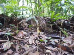 Stereosandra javanica (Orhidaceae) – Mount Kinabalu, Malaysia. Photo by Vincent Merckx