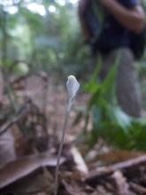 Burmannia lutescens (Burmanniaceae) – Mount Kinabalu, Malaysia. Photo by Vincent Merckx