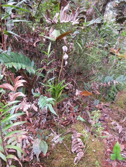 Burmannia longifolia (Burmanniaceae) – Mount Kinabalu, Malaysia. Photo by Vincent Merckx