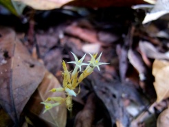 Voyria corymbosa (Gentianaceae) – French Guiana. Photo by Vincent Merckx