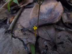 Voyria clavata (Gentianaceae) – French Guiana. Photo by Vincent Merckx