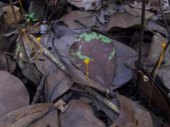 Voyria aphylla (Gentianaceae) – French Guiana. Photo by Vincent Merckx