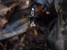 Gymnosiphon divaricatus (Burmanniaceae) – French Guiana. Photo by Vincent Merckx