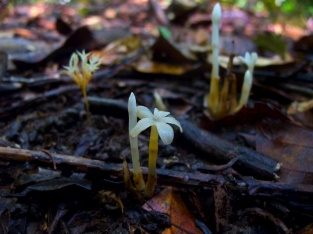 Voyria caerulea (front and right) and V. corymbosa (left) (Gentianaceae) – French Guiana. Photo by Vincent Merckx