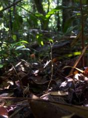 Gymnosiphon divaricatus (Burmanniaceae) – Atlantic forest in Brazil. Photo by Vincent Merckx