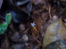 Voyria tenella (Gentianaceae) – Brazil. Photo by Vincent Merckx
