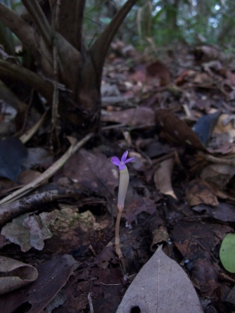 Voyria obconica (Gentianaceae) – Brazil. Photo by Vincent Merckx