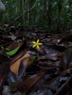 Voyria flavescens (Gentianaceae) – Brazil. Photo by Vincent Merckx